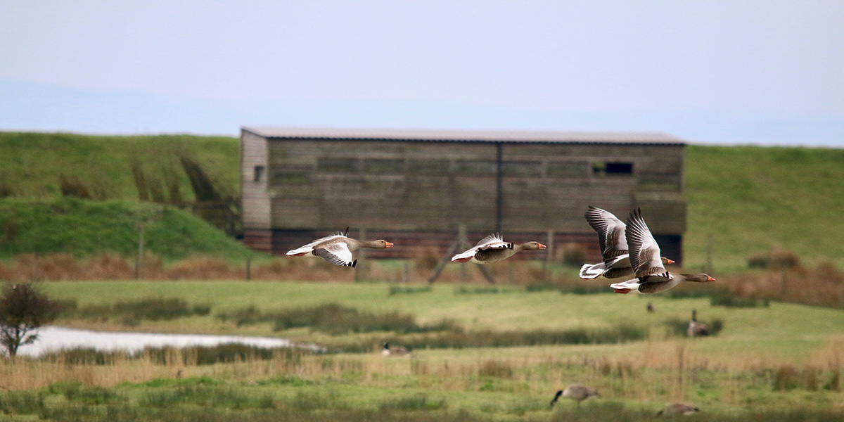 Greylag geese (Chris Harris)
