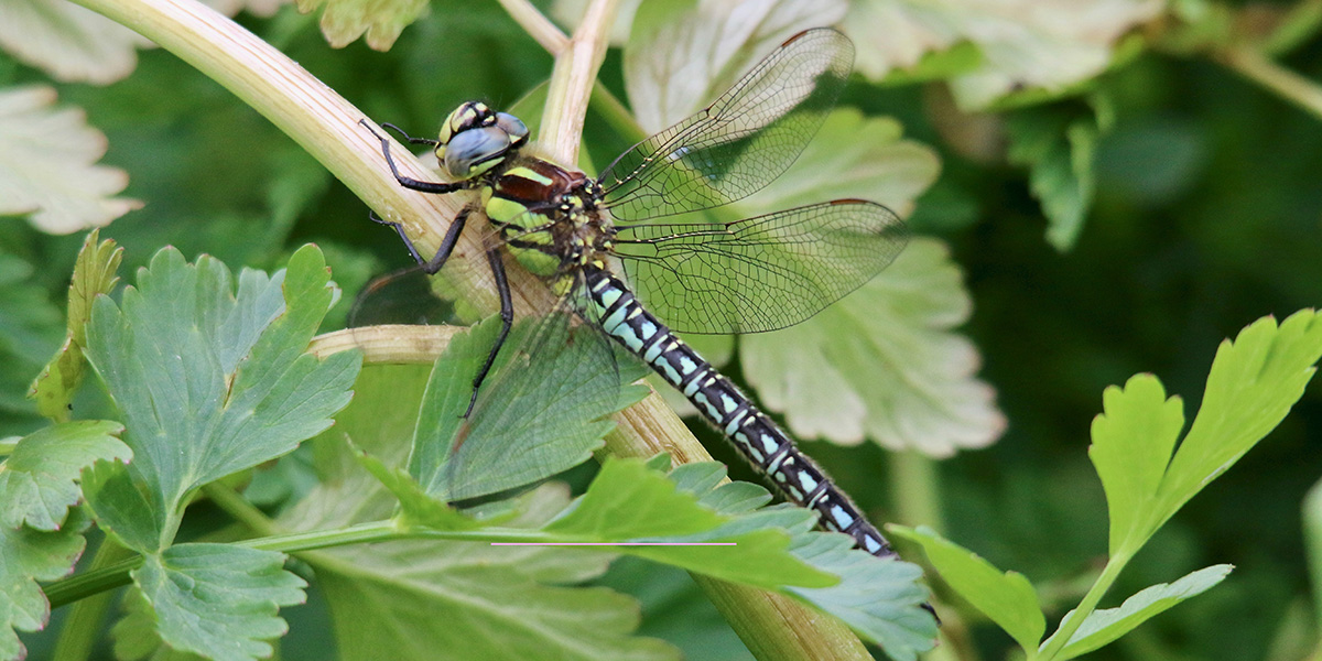 Hairy Dragonfly - male (Chris Harris)