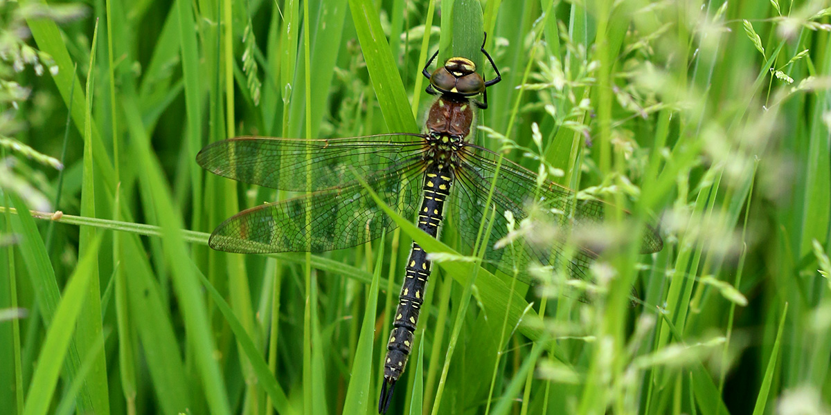 Hairy Dragonfly - female (Chris Harris)