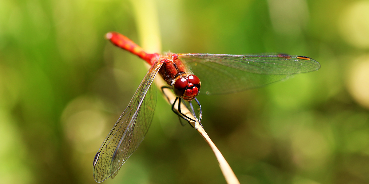 Ruddy Darter (Chris Harris)