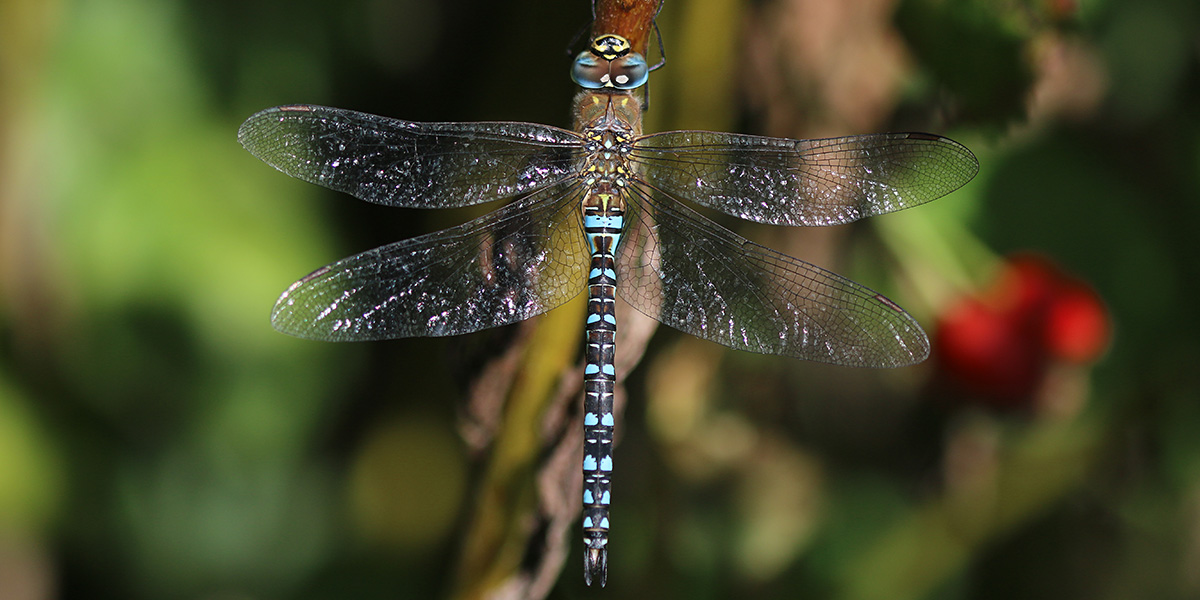 Migrant Hawker (Chris Harris)