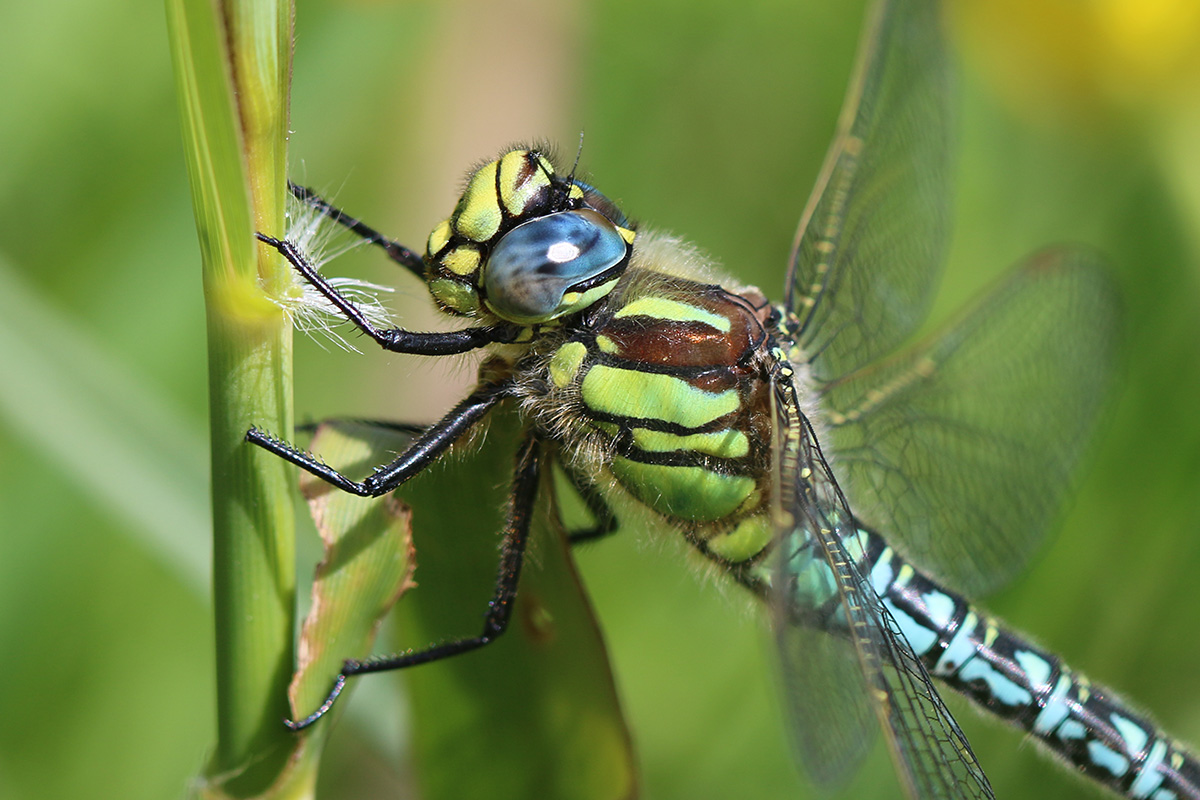 Hairy Dragonflies are aptly named (C Harris)