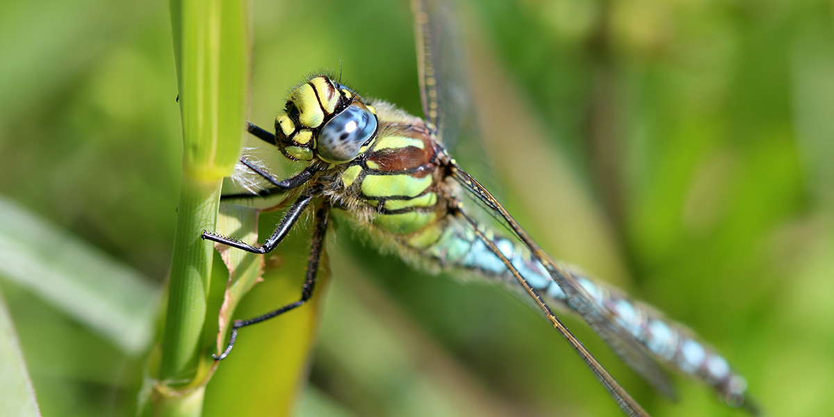 Hairy Dragonfly (Chris Harris)