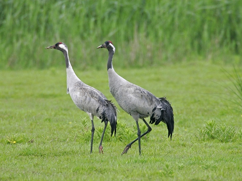 Common Crane - Cranes are once again nesting on the Levels after an absence of 400 years. Look for these impressive birds in fields around the Levels feeding on seeds, roots, insects, worms and snails.