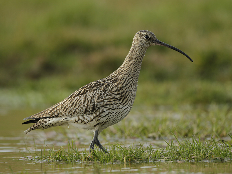 Curlew - A large wading bird with a long downward curving beak, which it uses to catch worms, shellfish and shrimps. Listen out for the curlews evocative call.