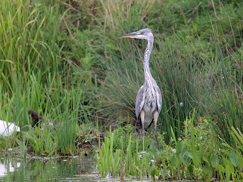 Grey Heron - The stately grey heron can often be seen stalking through shallow water at low tide hunting for fish and eels.