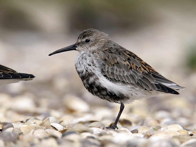 Dunlin - The commonest small wader found along the coast - feeding flocks can number thousands.