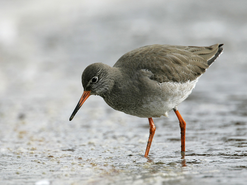 Redshank - Named for its bright red legs, the redshank uses its long bill to probe for insects, worms and molluscs in the soft mud.