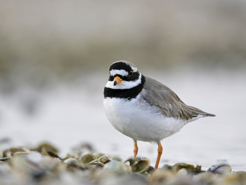 Ringed Plover - A small short-legged wader, often seen scurrying along the sea shore looking for flies, worms, and molluscs.