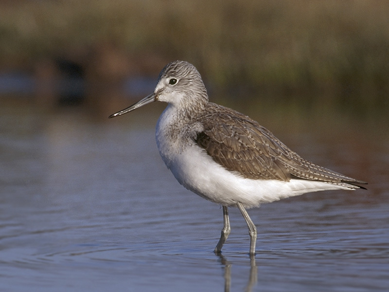 Greenshank - Greenshank can be distinguished from other waders by its green legs and slightly upturned bill, which it uses to hunt for worms, snails and fish.