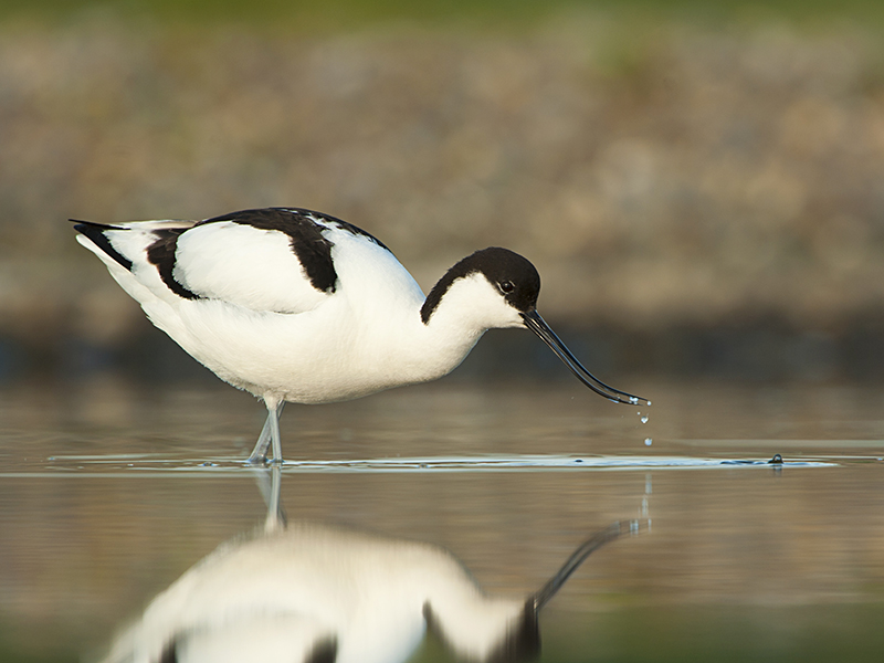 Avocet - A distinctive black and white bird with an upturned beak. It feeds on larvae, crustaceans and worms.