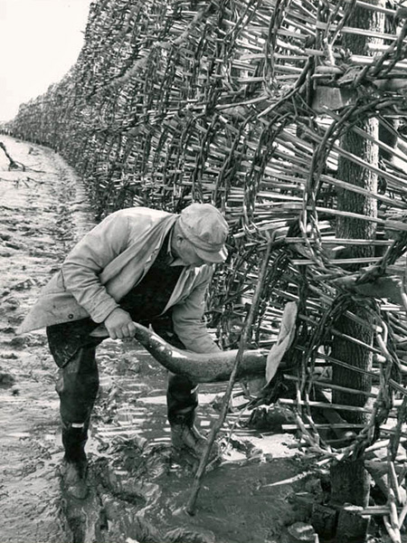 Retrieving a salmon from a basket (c. 1970)