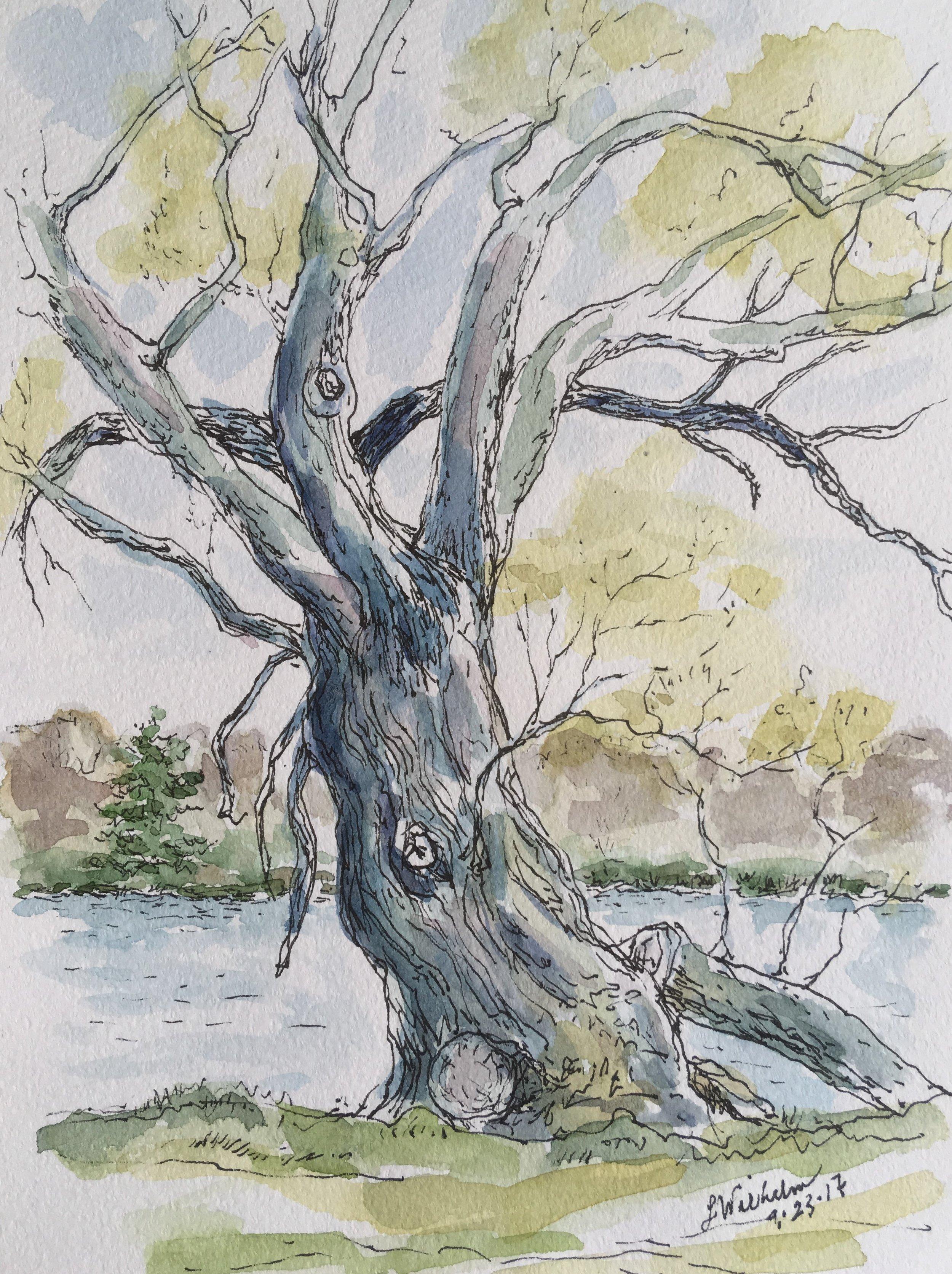 Fresh Pond Willow