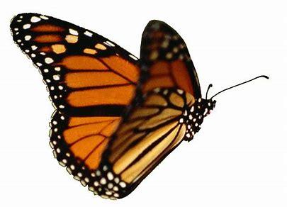 monarch3.jpg