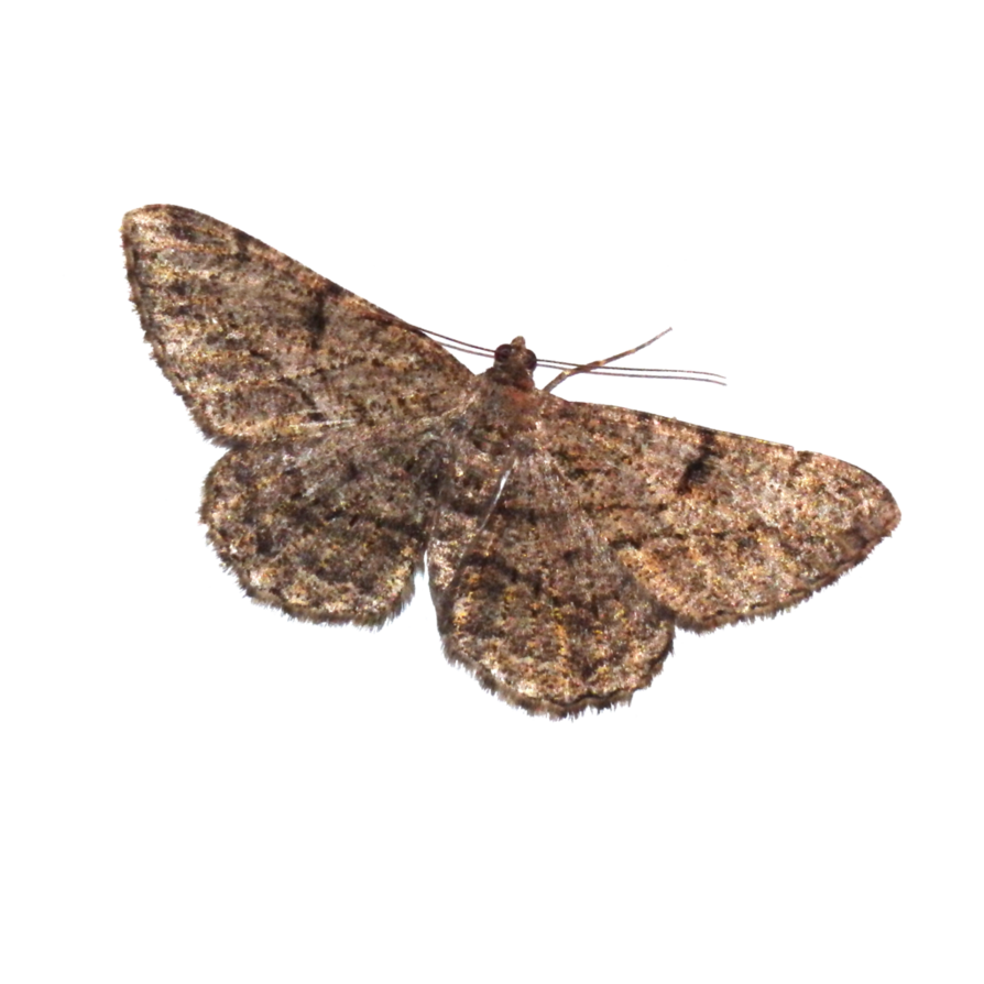 Copy of Copy of Moths