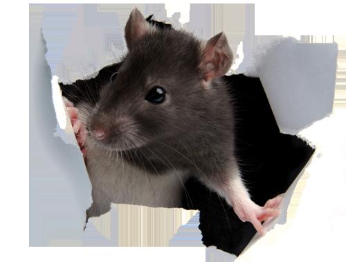 rat_paper.png