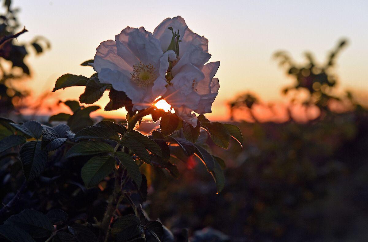 Elliot_Flower_Sunset_preview.jpeg.jpg