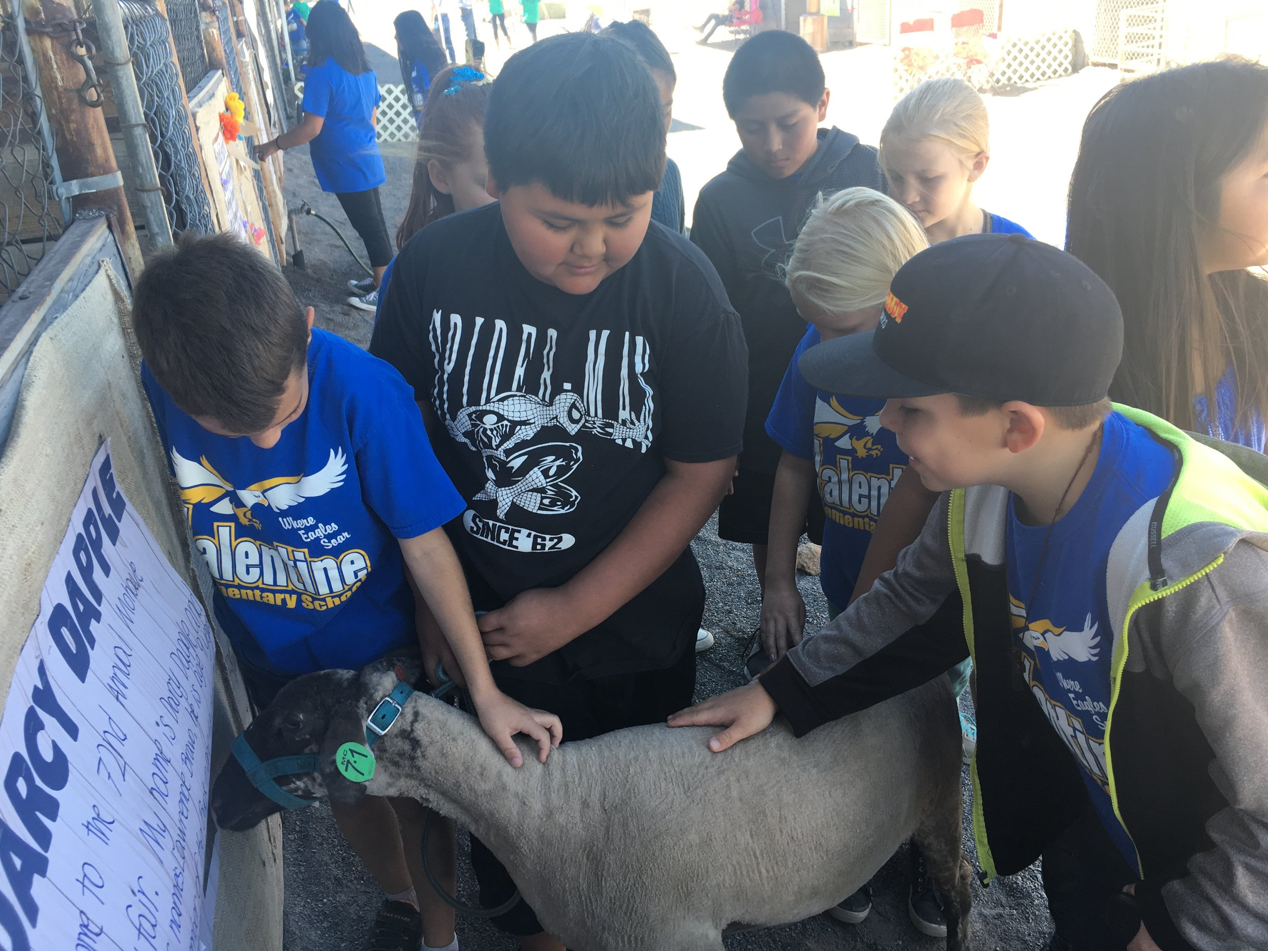 county fair 3-4 sheep.jpg