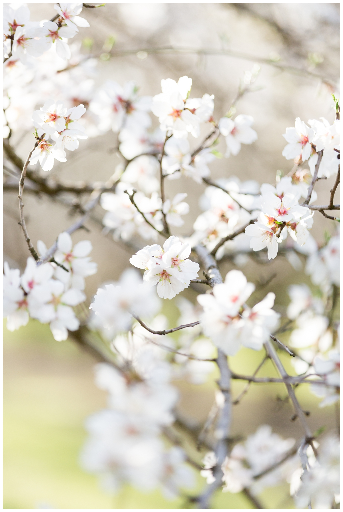 Almond-Blossom-Engagement-Photography-Chico_4138.jpg