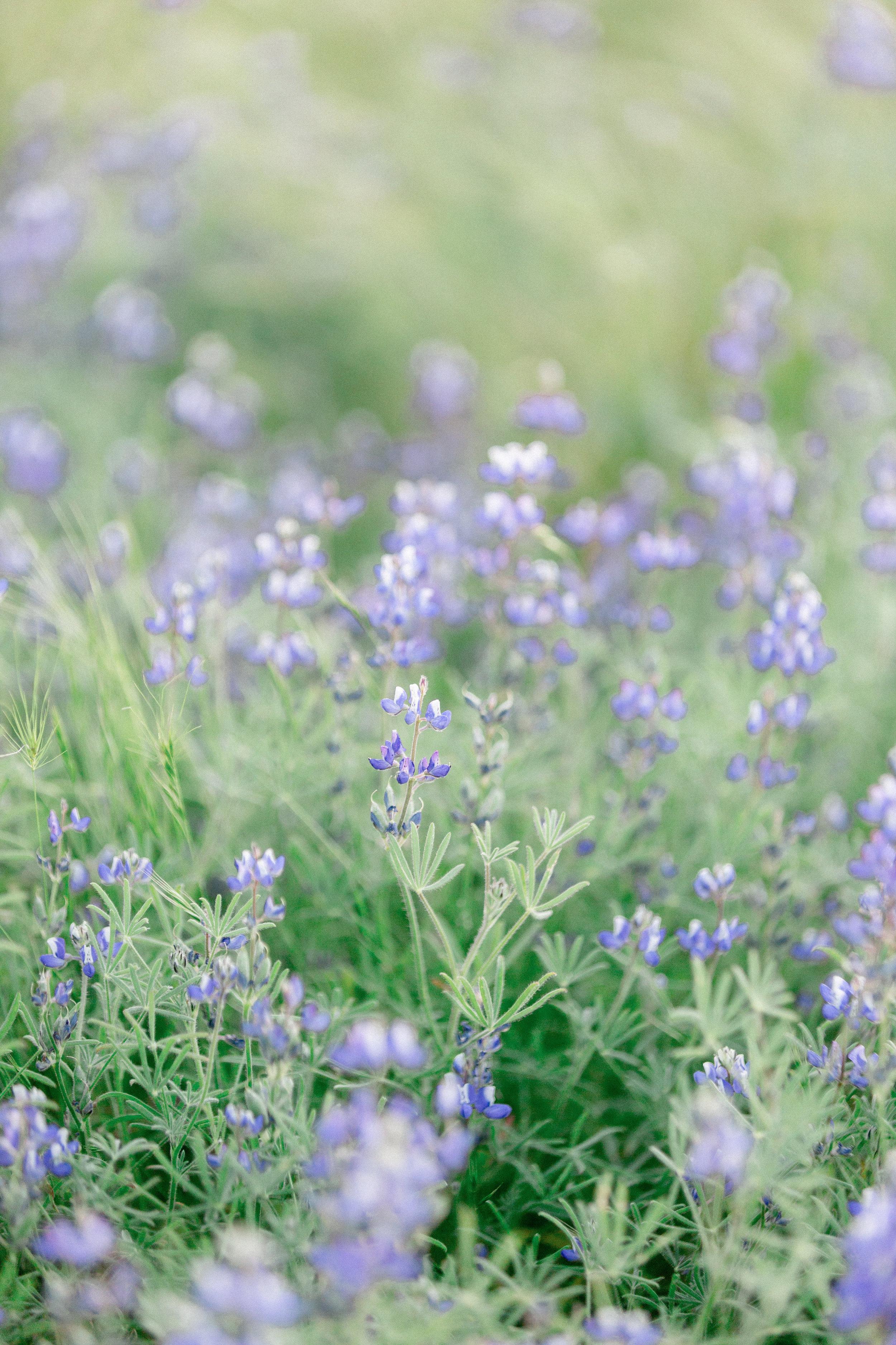 california-purple-wildflowersjpg