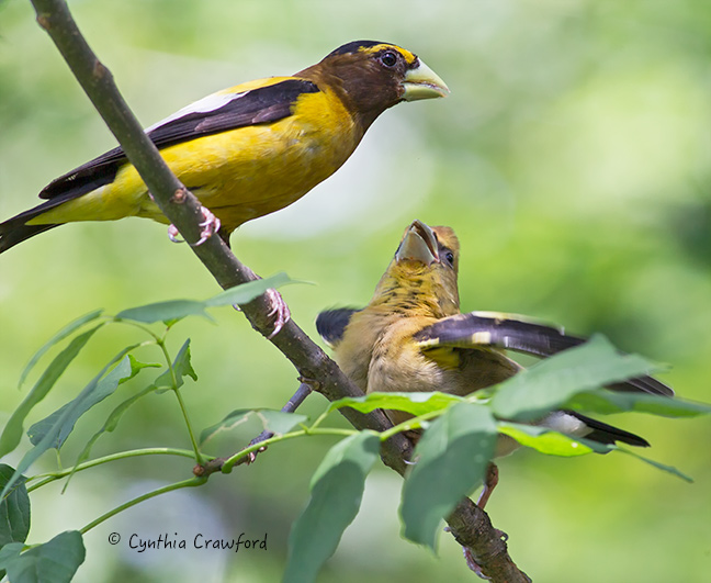 Male Evening Grosbeak feeding young