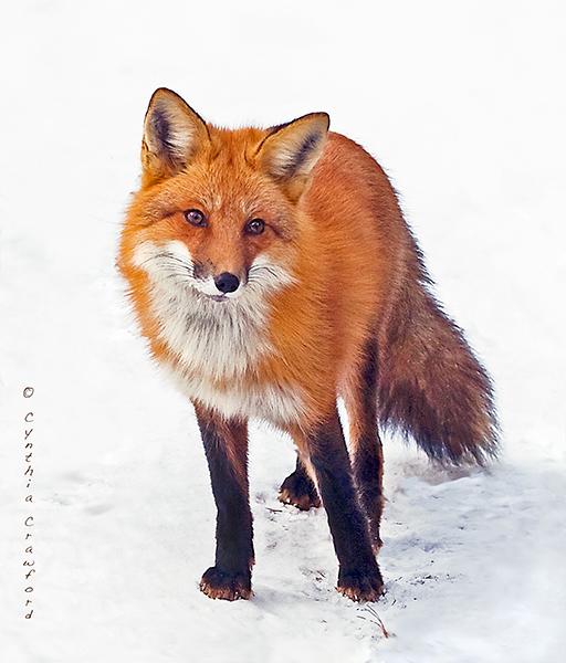 fox.c.crawford.0238.sm.jpg