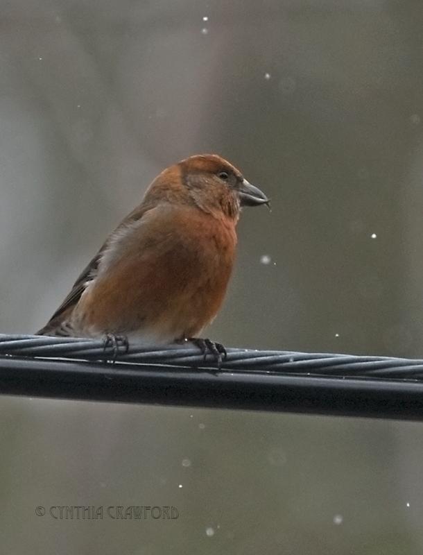 red.crossbill.male.b.meadow_DSC7667.jpg