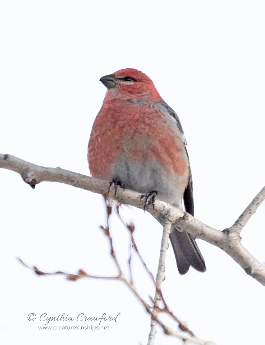 pine.grosbeak_DSC5228 copy.jpg