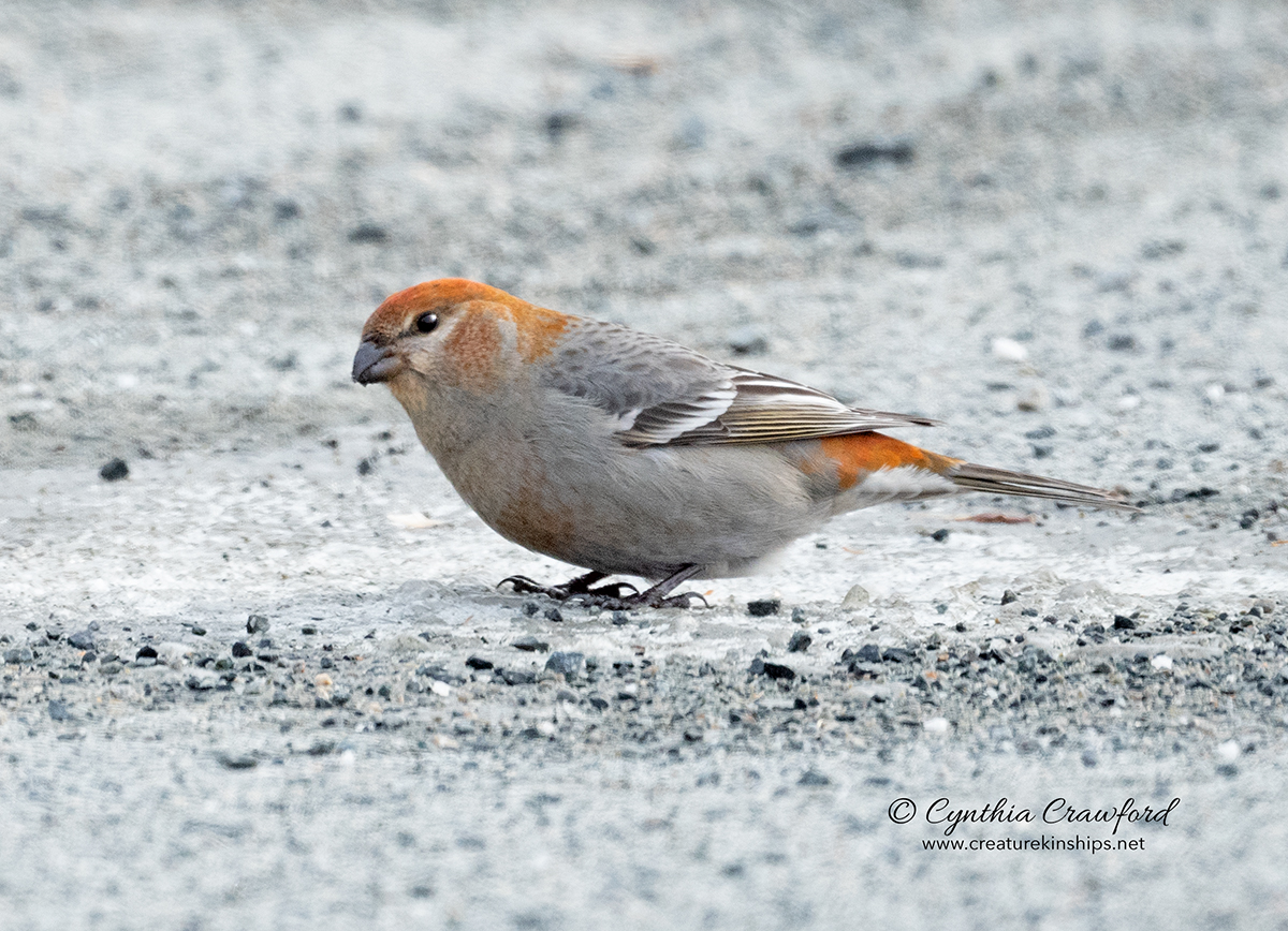 pine.grosbeak.f.sm_DSC5085 .jpg