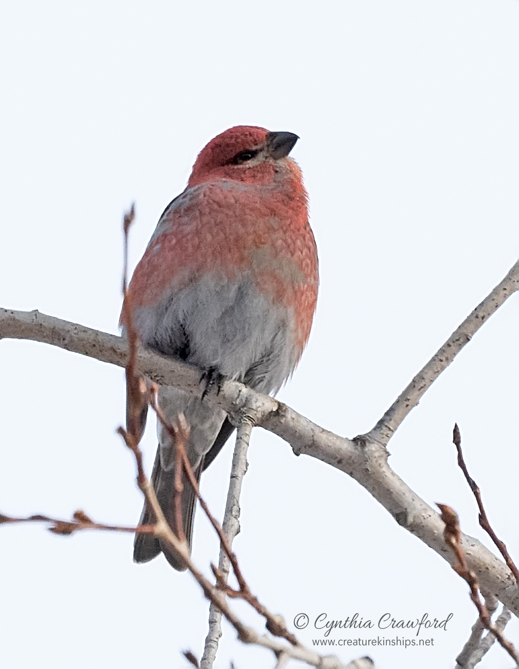 pine.grosbeak.m_DSC5248.jpg