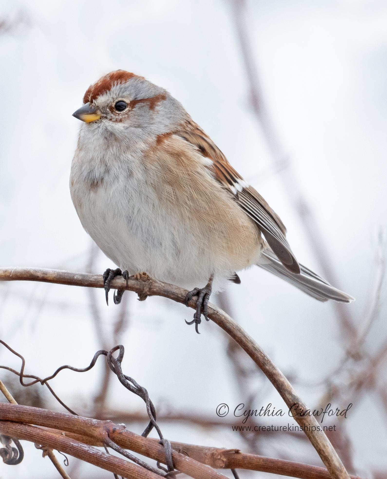 tree.sparrow_DSC4963.jpg