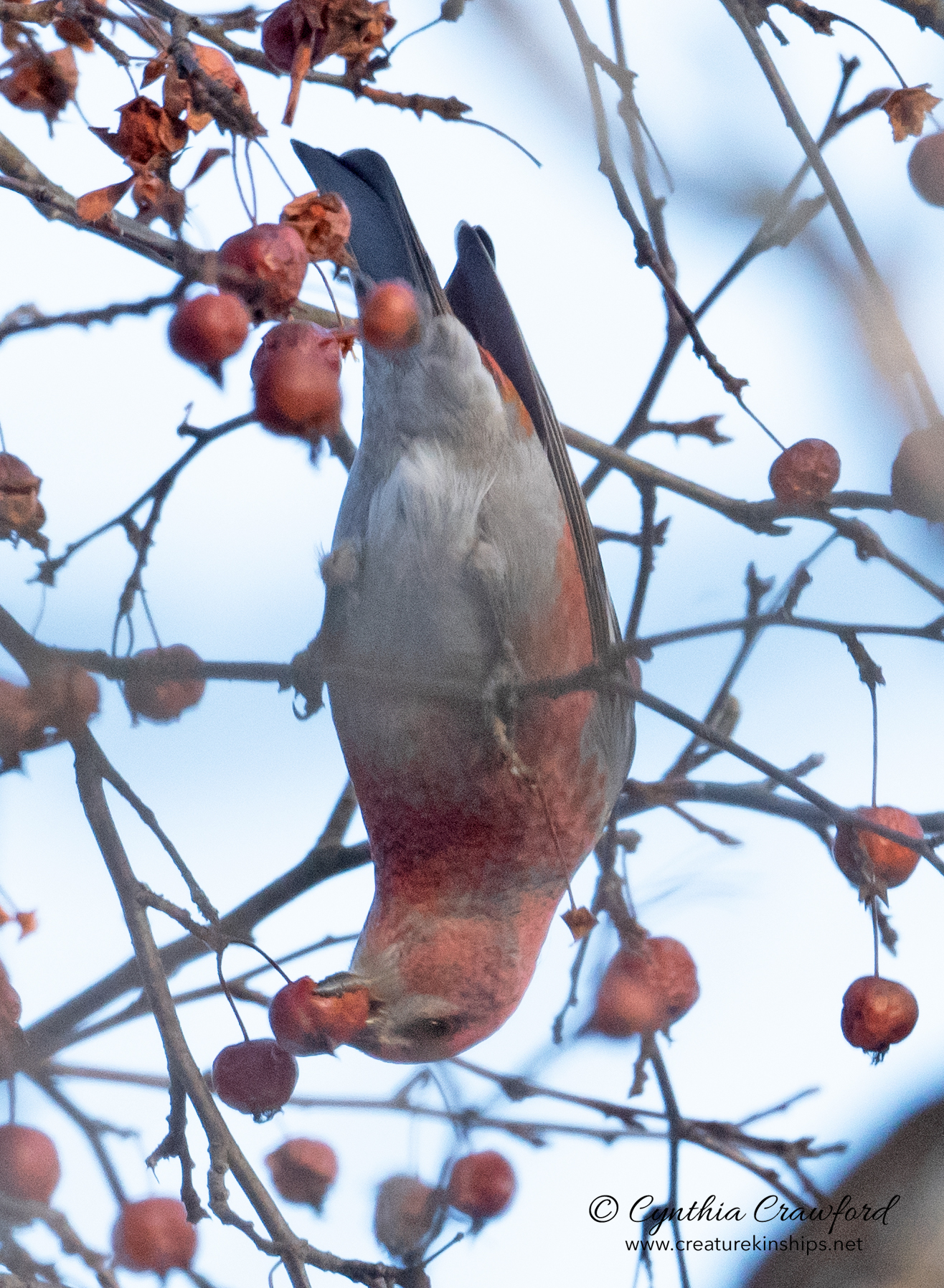pine.grosbeak4689.jpg