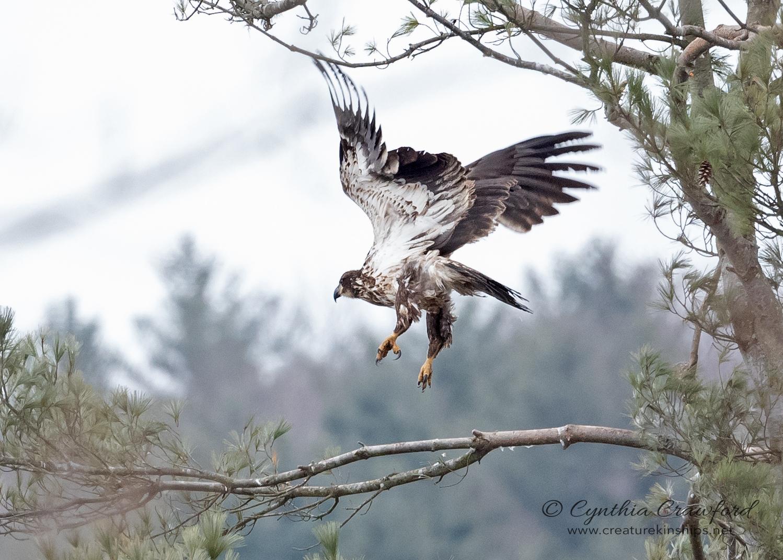bald.eagle.imm.flight_DSC2152.jpg