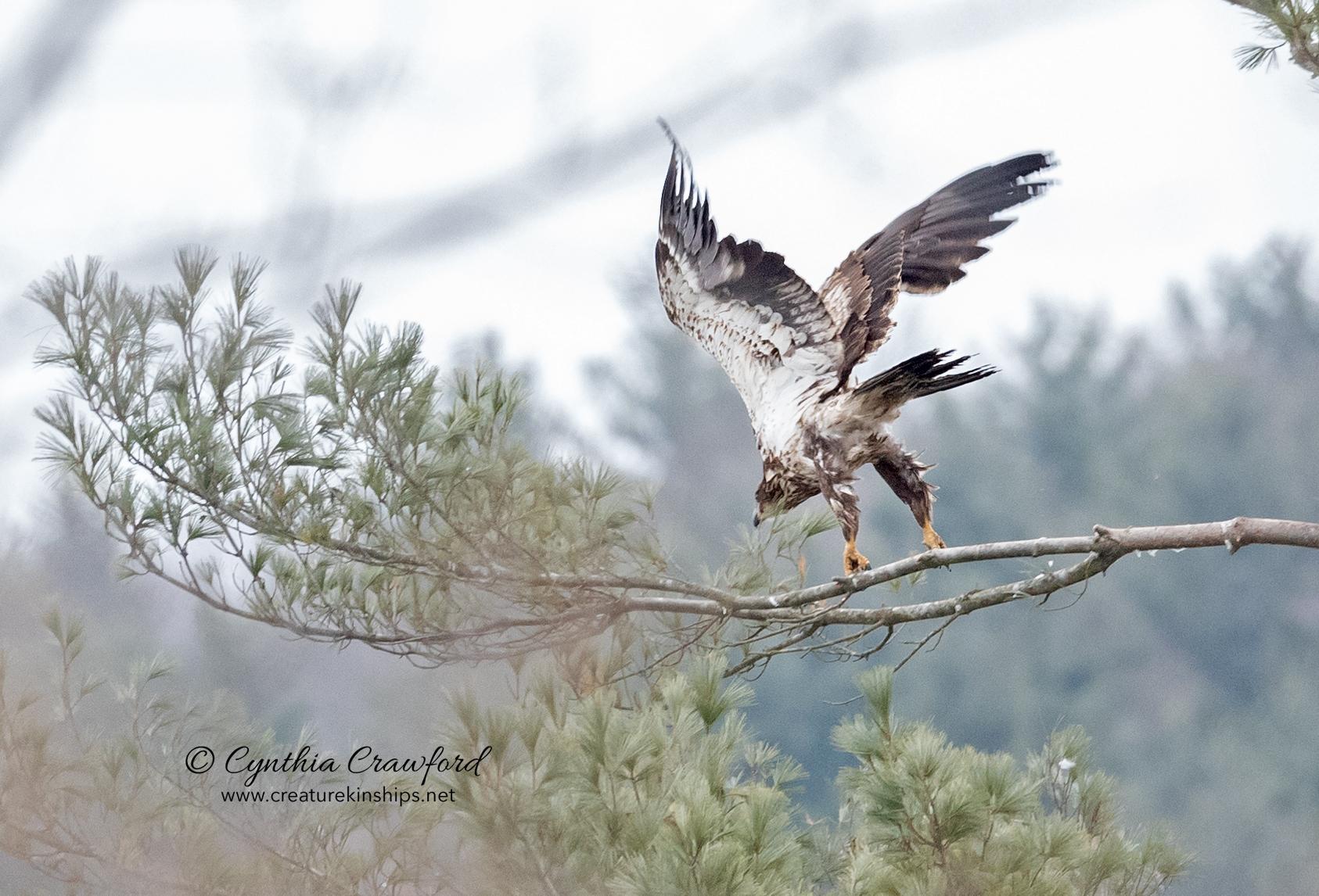 bald.eagle.imm.fly_DSC2154.jpg