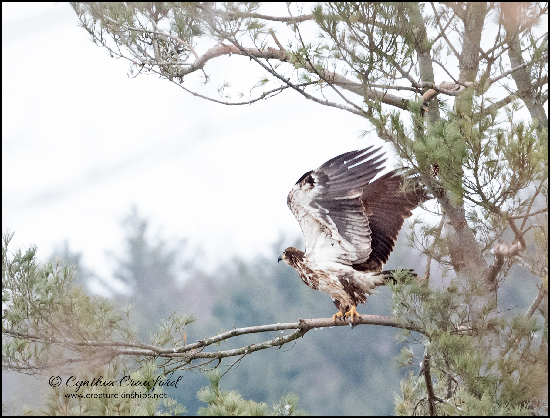 bald.eagle.imm_DSC2150.jpg