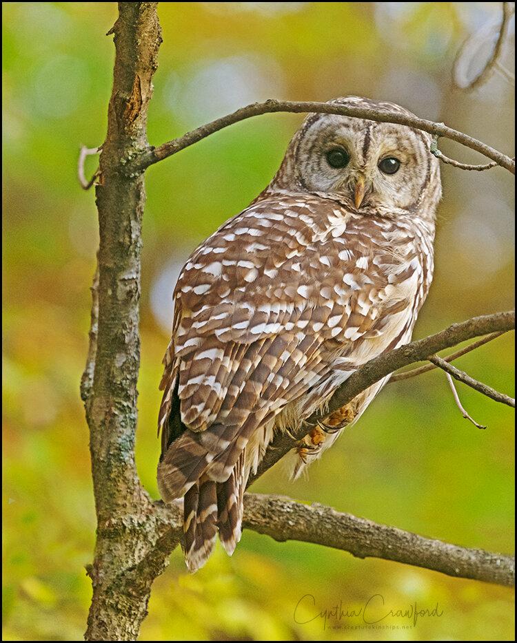 barred.owl_DSC7064 copy.jpg