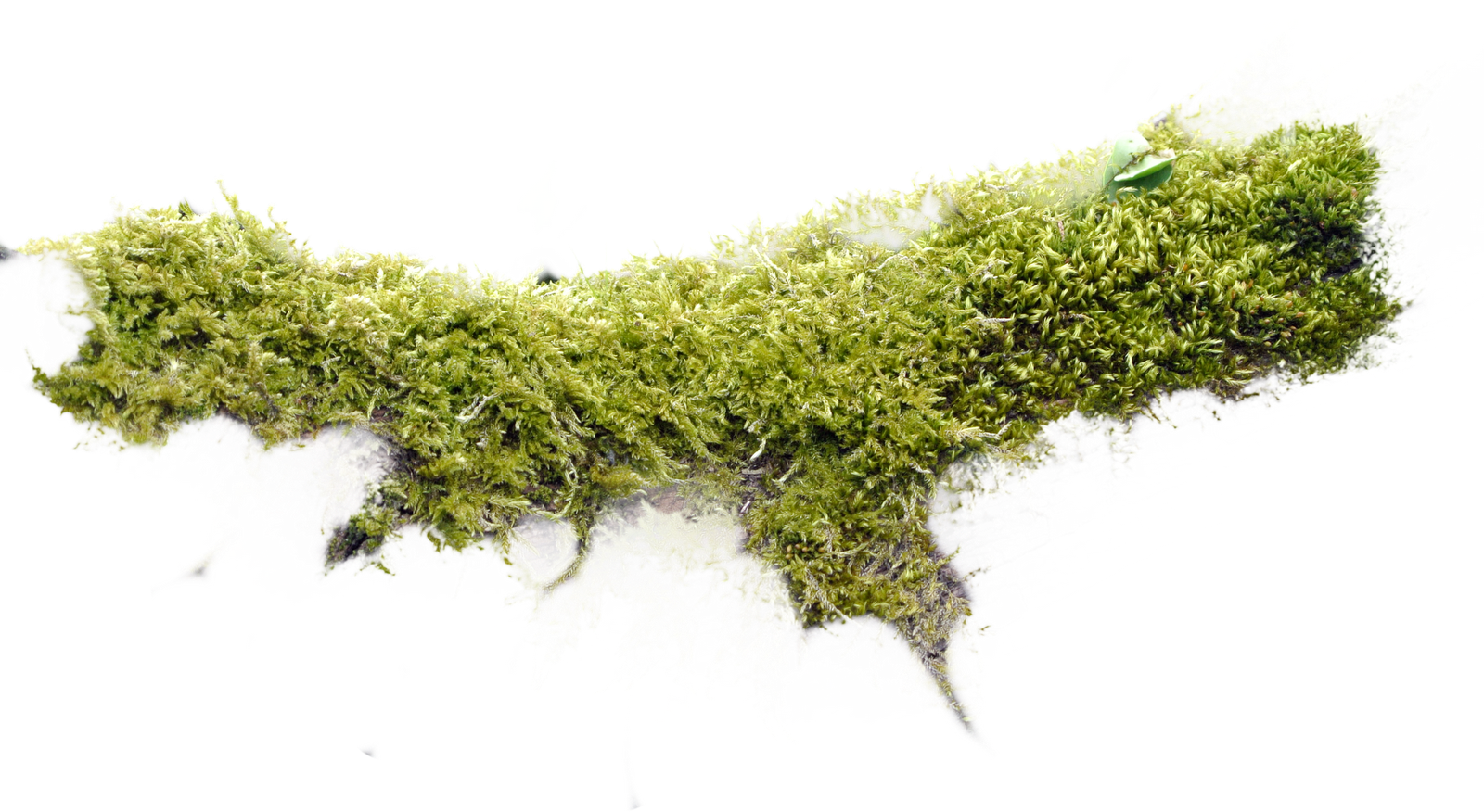 MossBranch.png