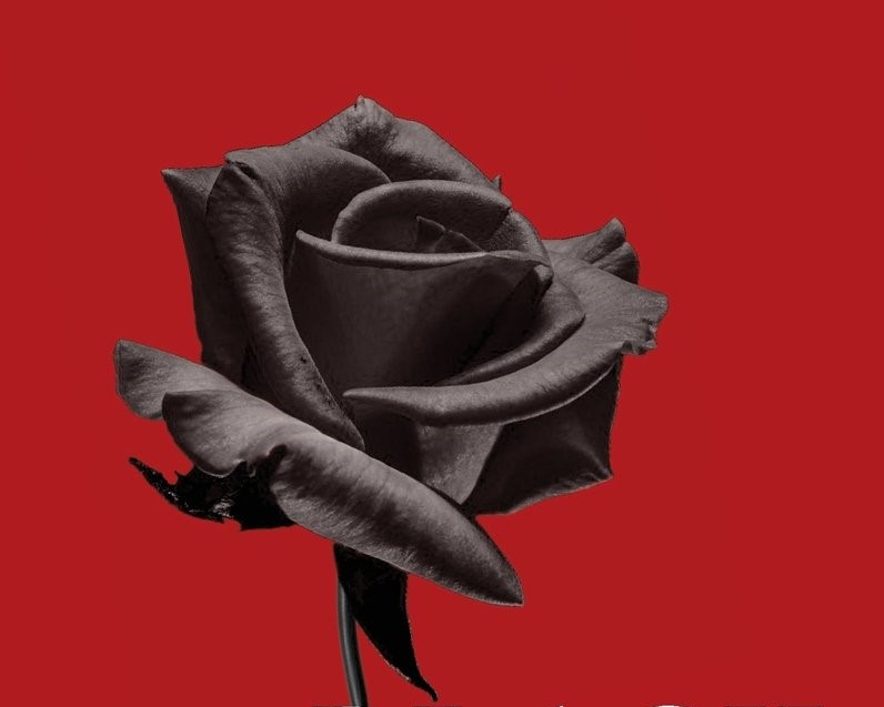 Madness in Motion (Cornucopia Magazine, Issue 56)   A review of Nazlı Eray's novel  The Black Rose of Halfeti,  a book whose narrative is untethered from any anchor of reality.