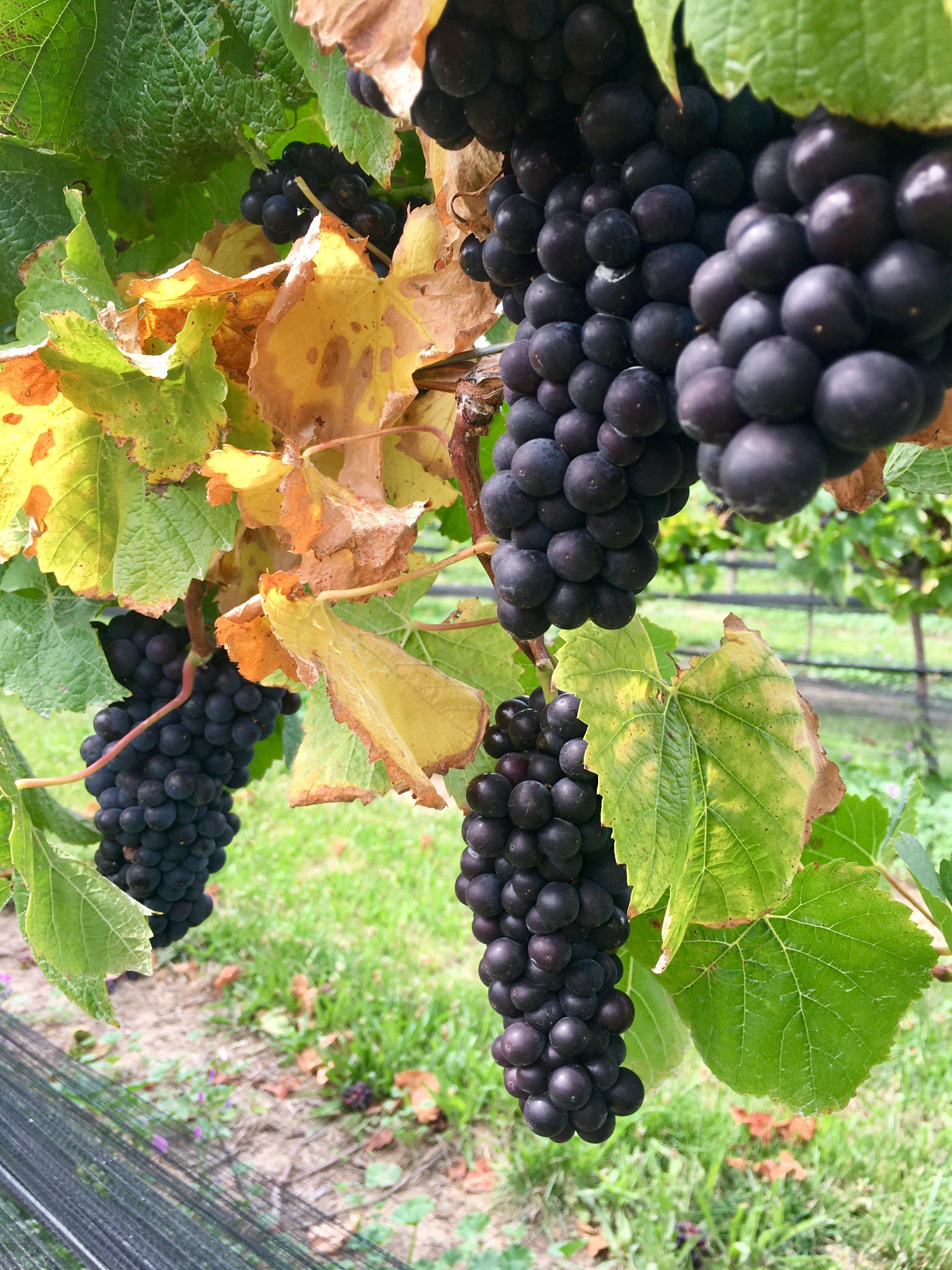 Pinot Grapes.jpg
