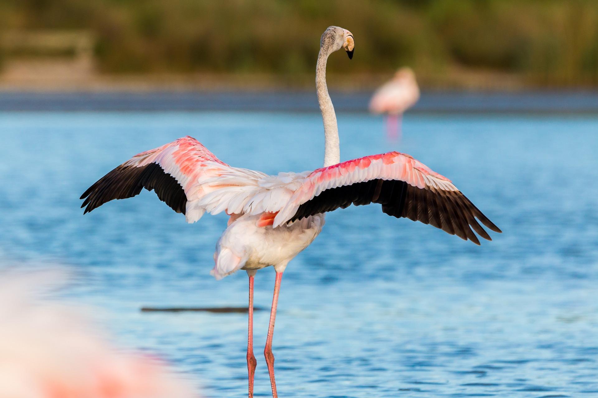 Einzug der Flamingos auf Ibiza #unesco #weltkulturerbe #salinas #flamingo #ibiza #spanien #balearen #urlaubstipps #wandern