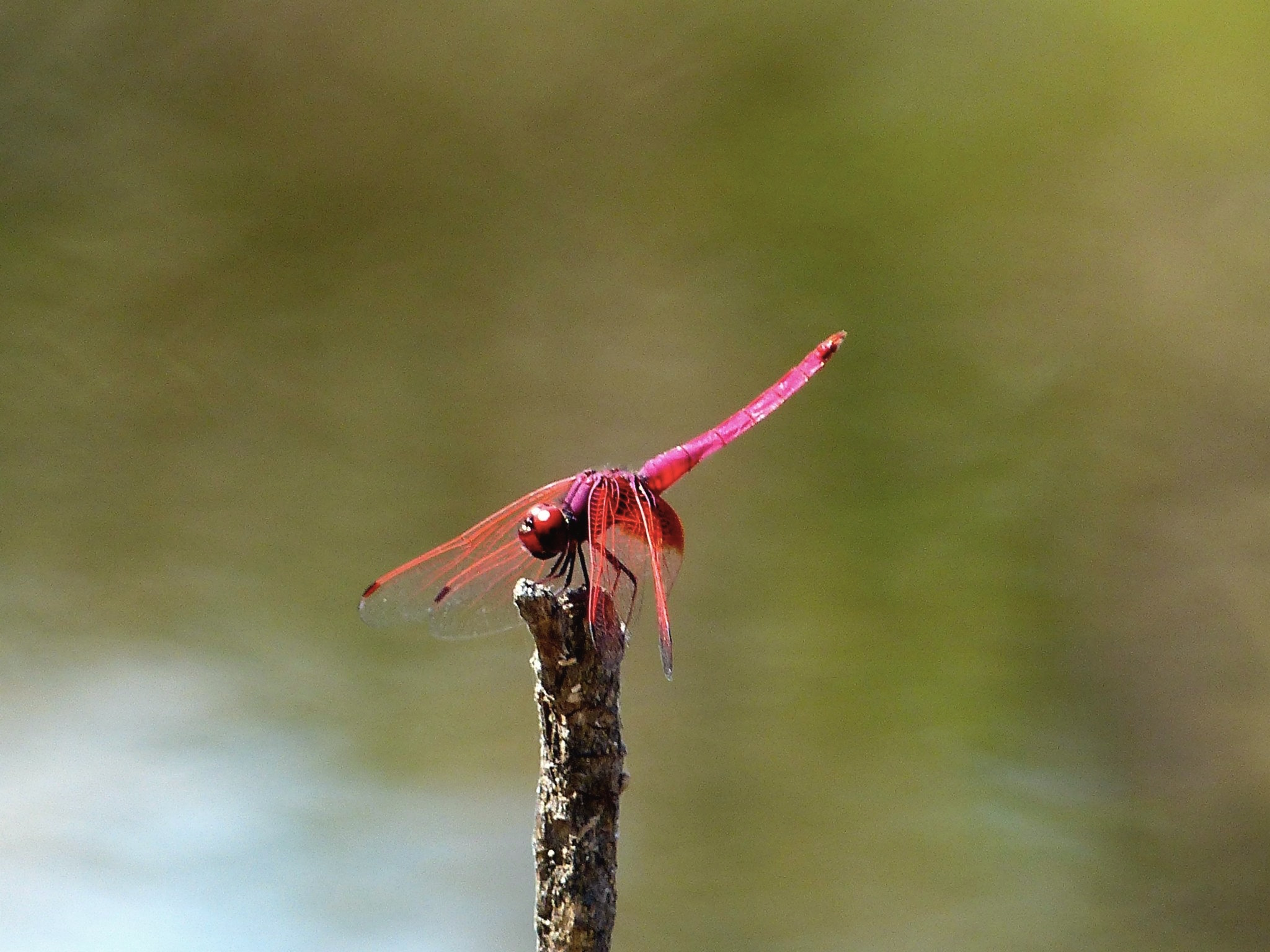 red dragonfly in the savanna