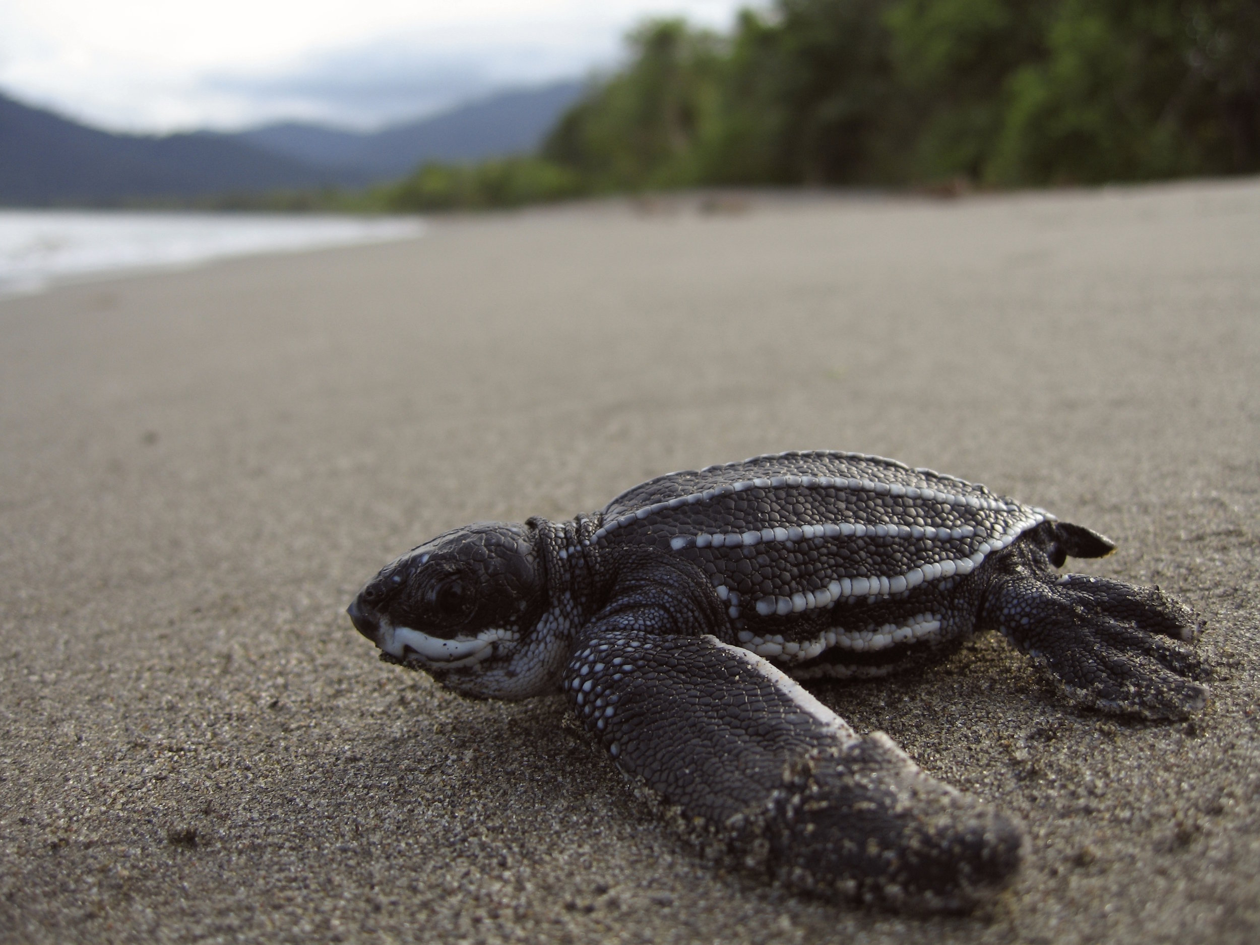 leatherback turtle being released back to sea