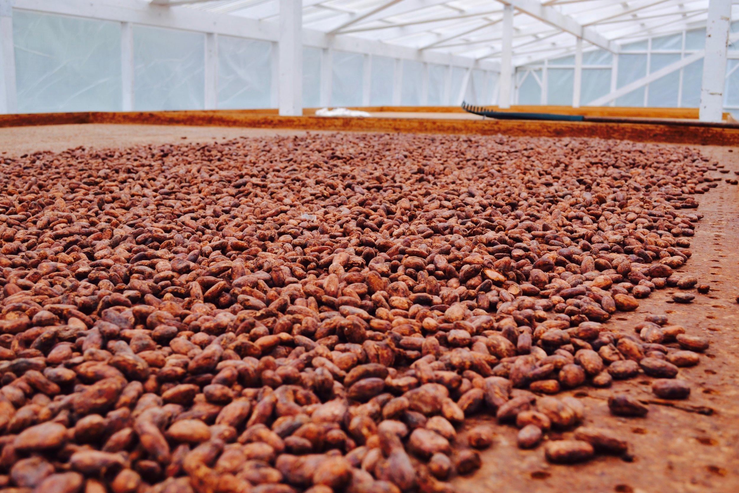 cocoa beans fermentation