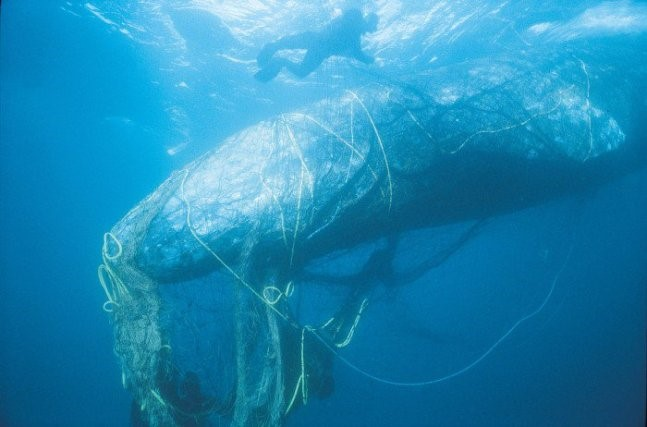 "Grey whale in net, ""Marine mammals like whales often mistake marine debris for a potential food source."" (Image Source: Environmental Impact Assessment)"