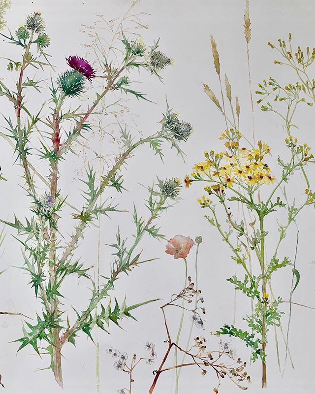 Detail from my latest watercolour. Wild Thistles, ragwort and grasses from Richmond park. #watercolour#wild flowers#botanicle#art.