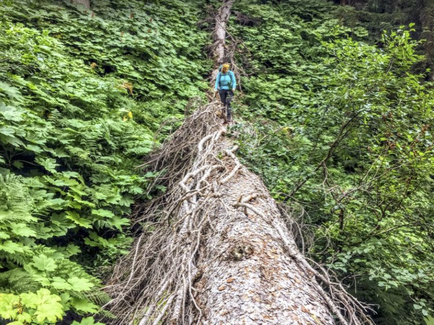 It's a jungle out there — one of many large logs on the SCT.Photo: E. Lau.