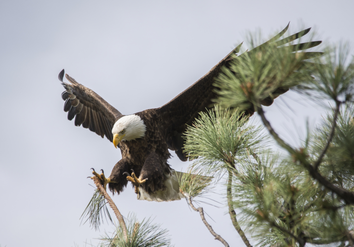Bald eagle landing on a pine in the Purcells. Photo by Lyle Grisdale, Kimberley. Lyle was awarded a certificate for 2 nights for 2 people at an ACC backcountry hut.