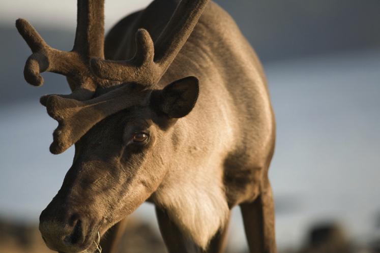 Woodland caribou. Photo by Ted Simonett, Wildlands League.