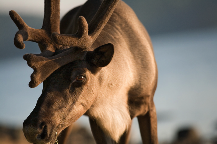 Woodland caribou. Photo by Ted Simonett, Wildlands League. Courtesy of CPAWS.
