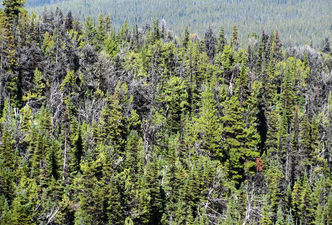 Scattered dead whitebark pine in high-elevation forest on Mount Davidson, south of Vanderhoof in central British Columbia. Photo by Alana Clason.